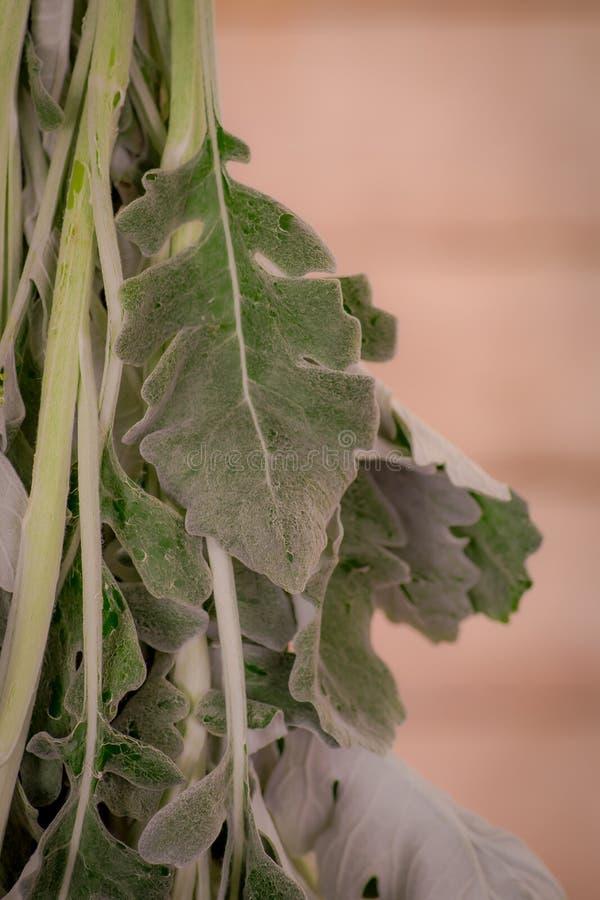 Close up of a bouquet of Senecio Cineraria foliage variety, studio shot, green flowers stock photos