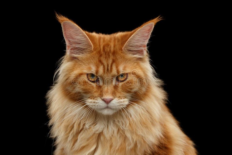 Close-up Boze Rode Maine Coon Cat Looks Camera, Geïsoleerde Zwarte stock foto