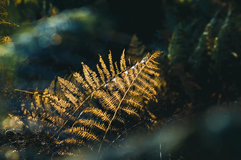 A close up of bracken back lighted by beautiful golden light on an autumn afternoon in an English woodland. A close up of bracken back lighted by beautiful royalty free stock photos
