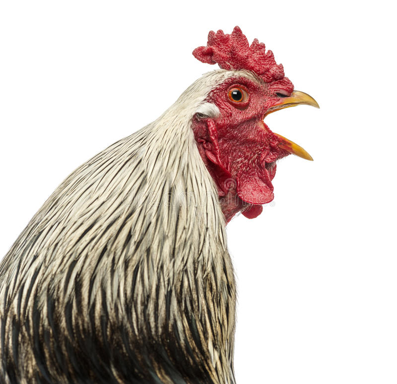 Close up of a Brahma rooster crowing, isolated stock images