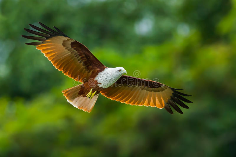 Close up of Brahminy kite. (Haliastur indus) flying in the sky in nature of Thailand royalty free stock photo