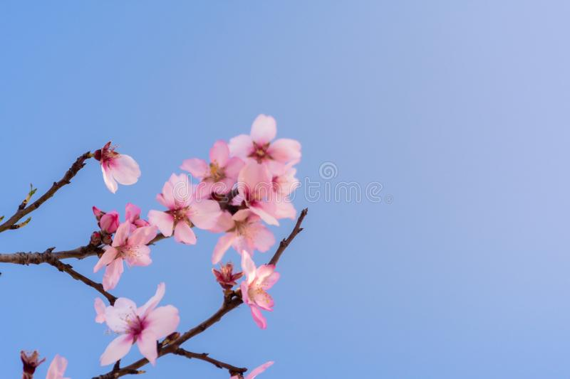 Close up branch of flowering almond trees over blue sky background. Beautiful almond blossom, at springtime background. Beautiful royalty free stock image