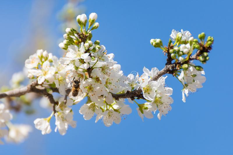Close-up of branch with plum blossoms and a bee prostrate on a flower over clear blue sky. Spring background. Spring time royalty free stock photo