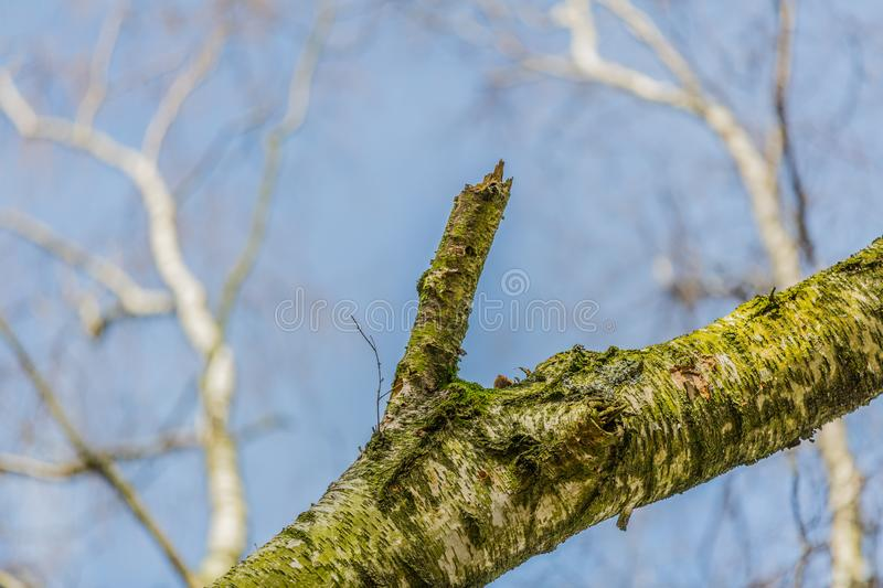 Close up of a branch of a tree with moss and trees without leaves background stock photos