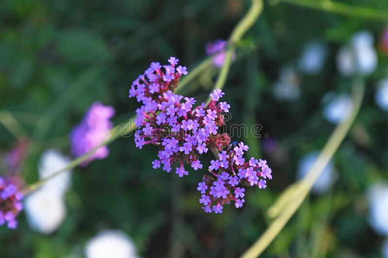 Branch of `Verbena Bonariensis` Purpletop Vervain  herbaceous perennial plant with many small violet flowers stock images