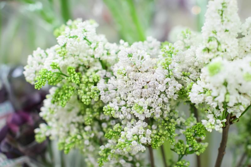 Close-up branch of white lilac in the vase. Beautyful bouquet of white flowers at sale at flower market royalty free stock image