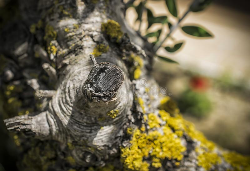 Yellow Lichen on a Tree. A close-up of a branch with a yellow lichen royalty free stock images