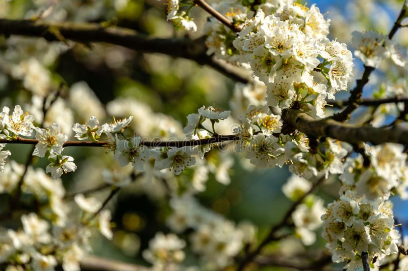Close-up branches of white cherry plum flowers blossom in spring. Lot of white flowers in sunny spring day on blue sky blurred bac royalty free stock photo