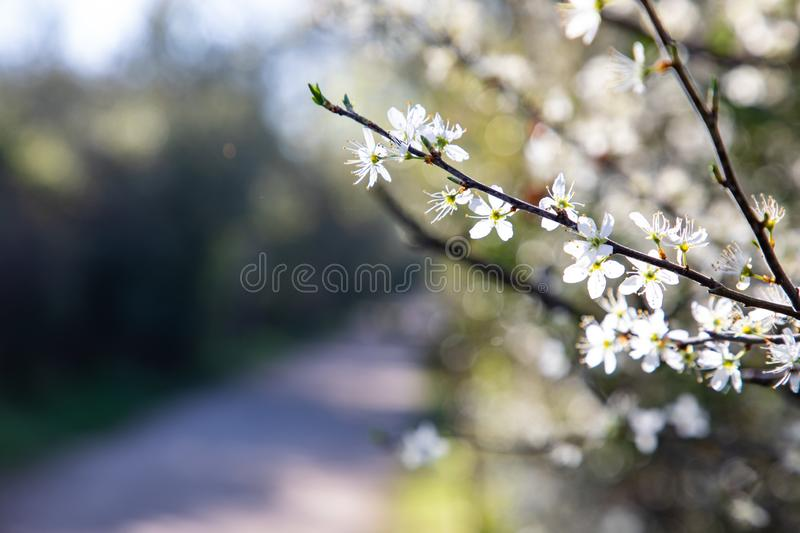 Close up of branches with white flowers and copy space stock images