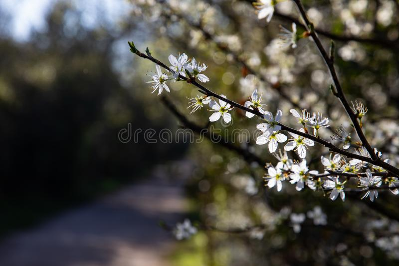 Close up of branches with white flowers and copy space stock photography