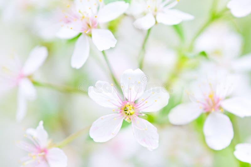 Close-up branco das flores de cereja foto de stock