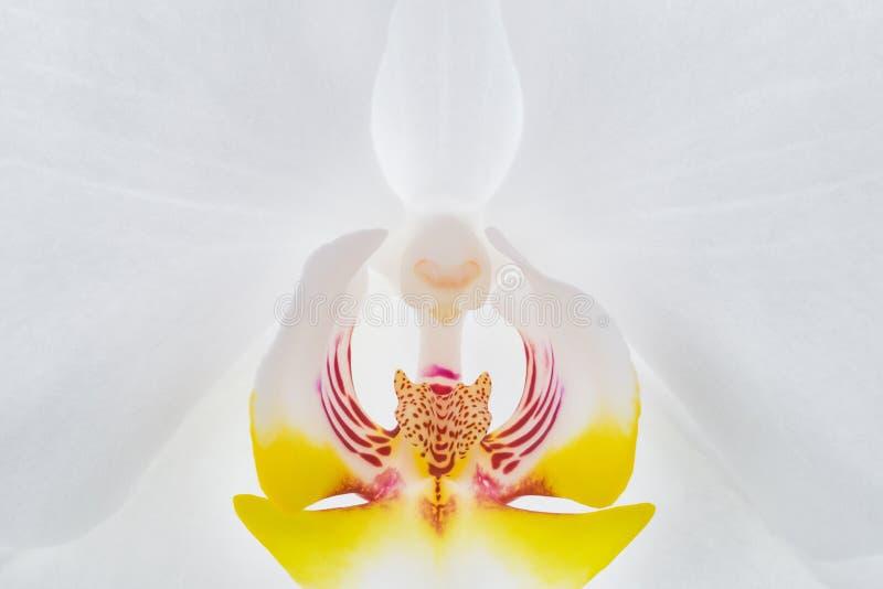 Close up branco do centro da flor da orquídea imagens de stock royalty free