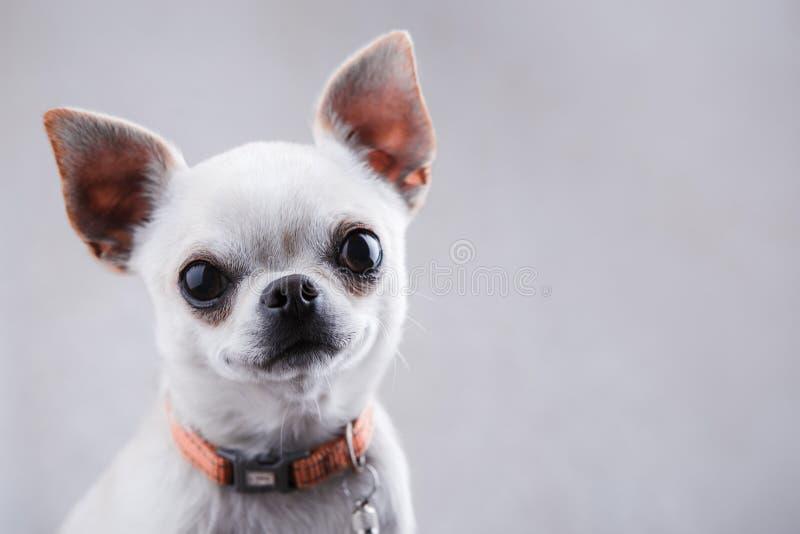Close-up branco em uma luz - fundo cinzento da chihuahua imagem de stock