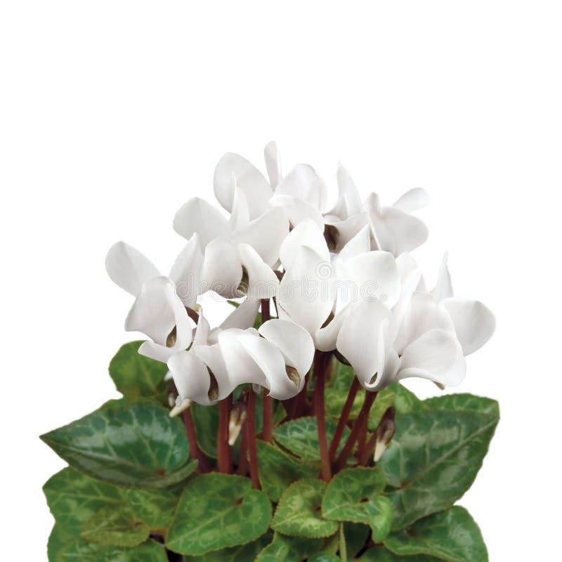Close up branco macio de Cyclamen imagens de stock royalty free