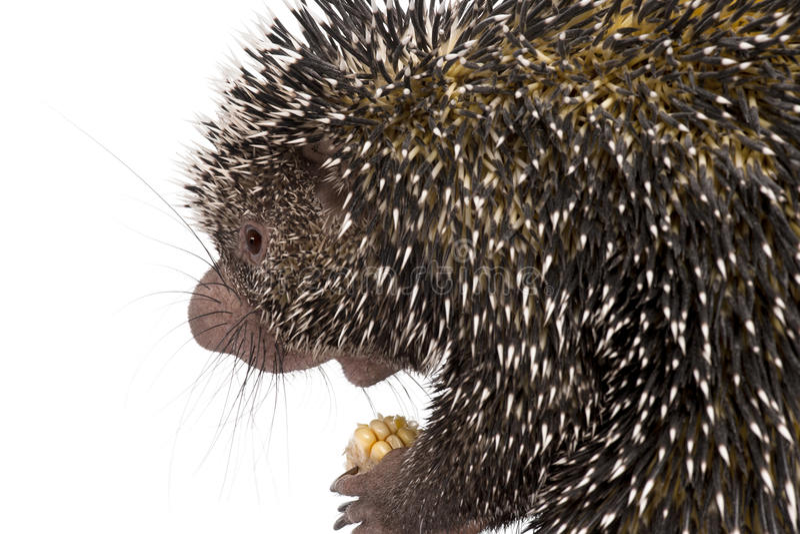 Close-up of Brazilian Porcupine stock photography