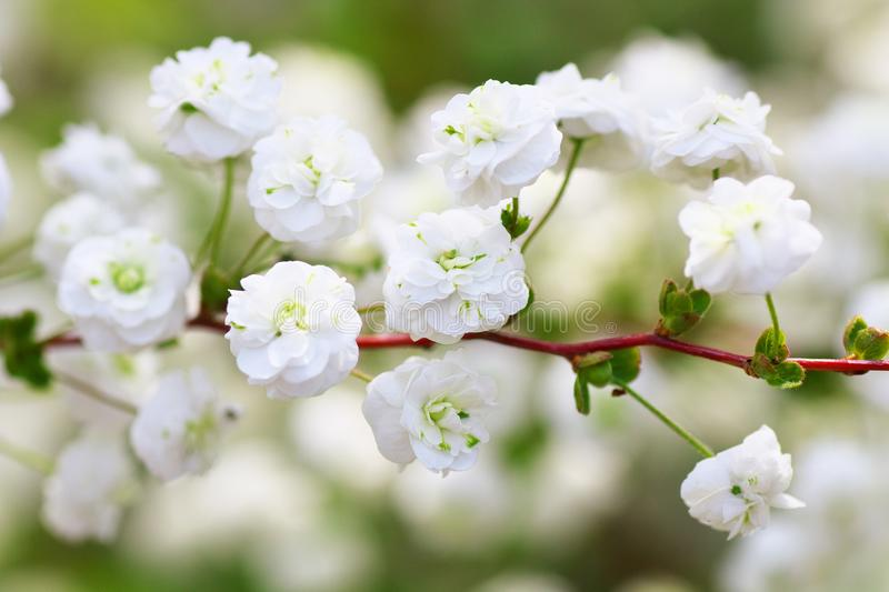 Close up of bridal wreath flowers royalty free stock images