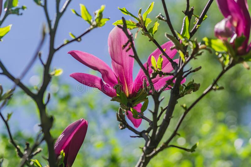 Close up of bright blooming pink magnolia tree in the garden.  stock photo