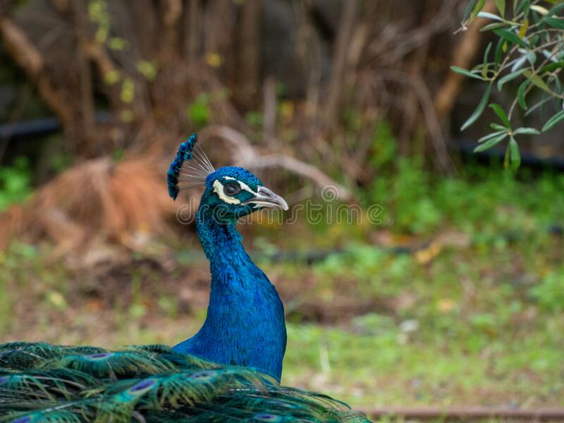 Close up of a bright coloured peacock royalty free stock image