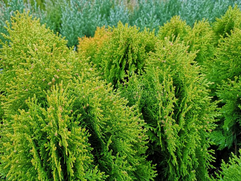 Close-up of fresh green Thuja trees. A close-up of bright and fresh green Thuja trees. These coniferous trees are evergreen and used in gardens worldwide stock photo
