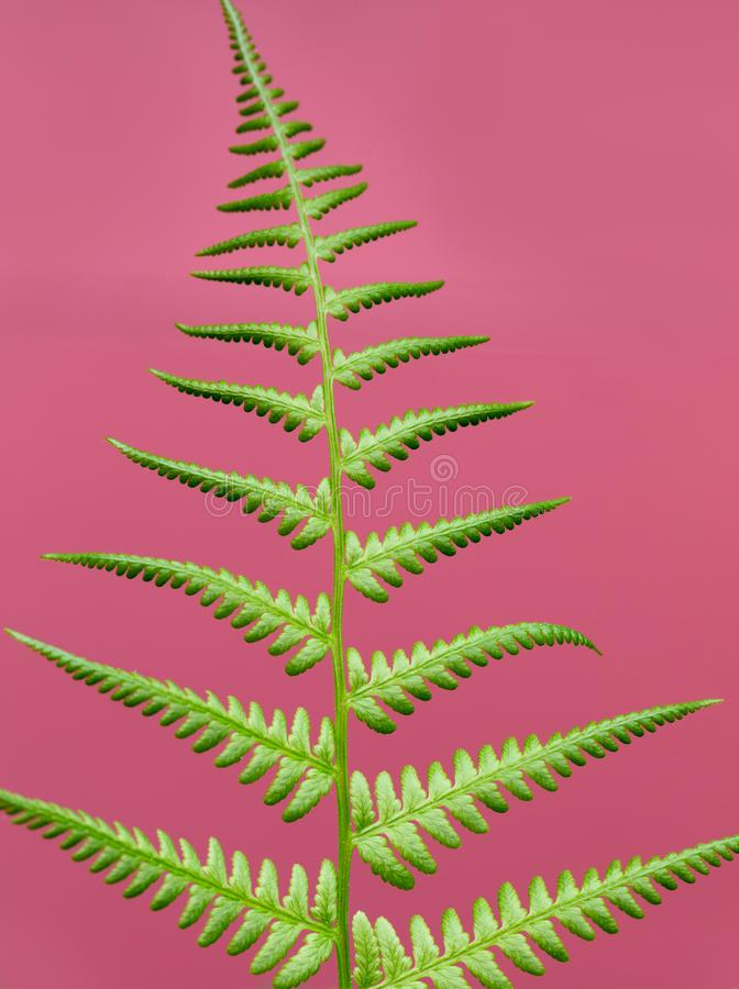 Close-up of bright green fern leaf isolated against pink background. Outdoors stock image