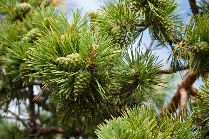 Close-up of bright green pine branches with green textured cones royalty free stock photography