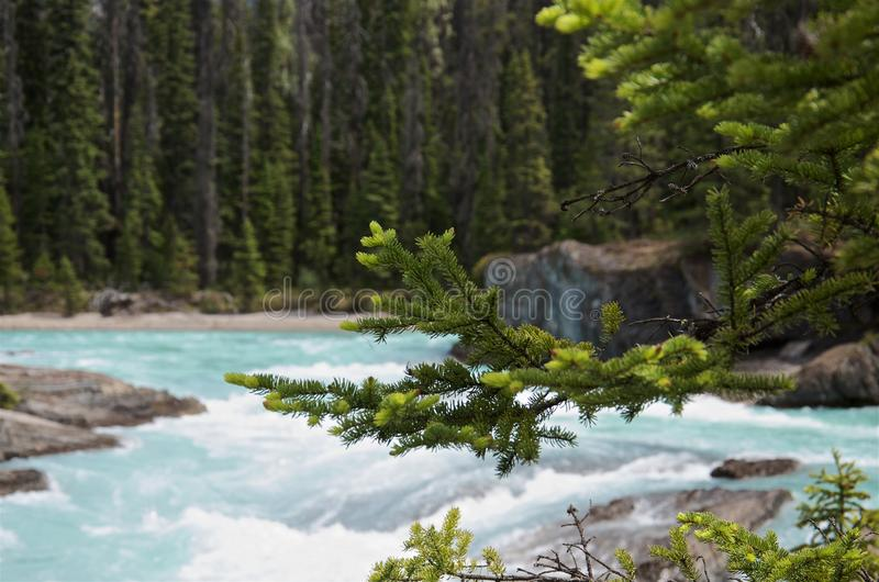 Close-up green spruce branch on a blurred background of turquoise forest Kicking Horse, Canada stock photography