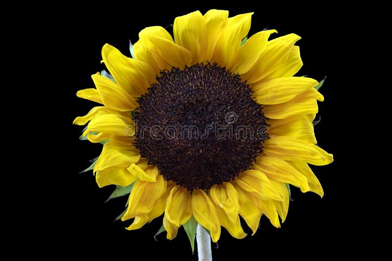 Yellow Sunflower with Black Background. A close up of a bright happy sunflower posed simply against a black backdrop royalty free stock images