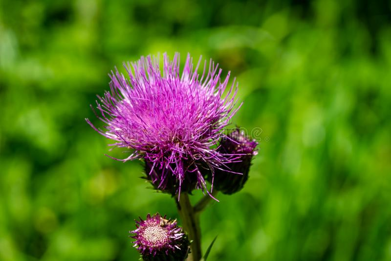 Close-up bright pink flower of melancholy thistle or Cirsium helenioides on blurred green natural background. Nice theme for any summer design. Selective focus stock images