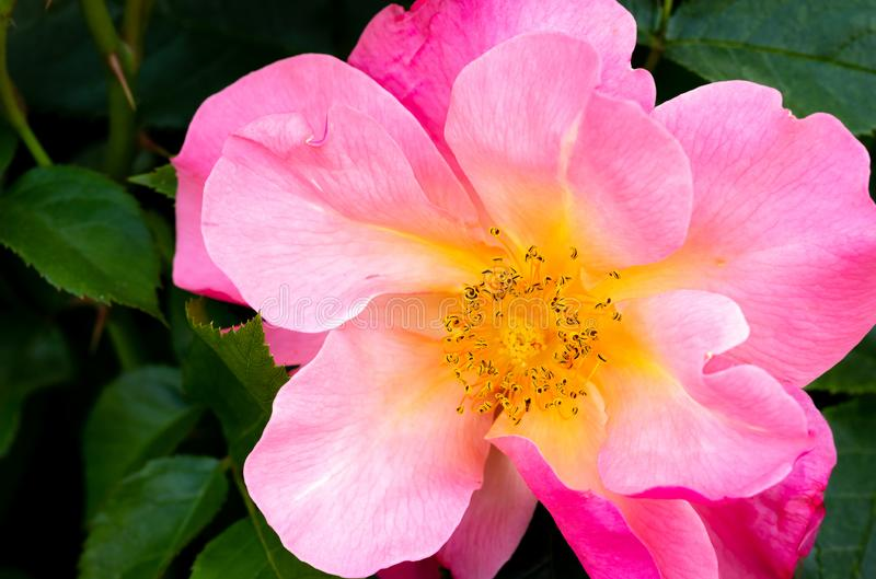 Close-up of bright pink and yellow All the Rage hybrid shrub rose in selective focus outdoors in garden with green leaves. In background stock photography