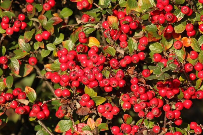 Close up of bright red berries Cotoneaster plant stock photography
