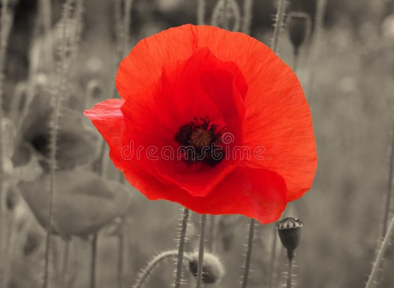 Close up of a bright red common poppy flower on a vintage sepia background - war remembrance concept stock photography