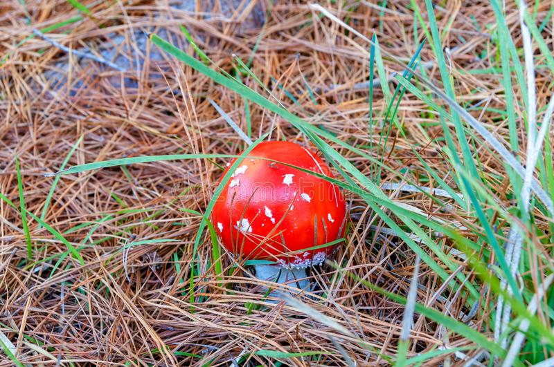 Close up of bright red Fly Agaric mushroom. Nature background stock photos