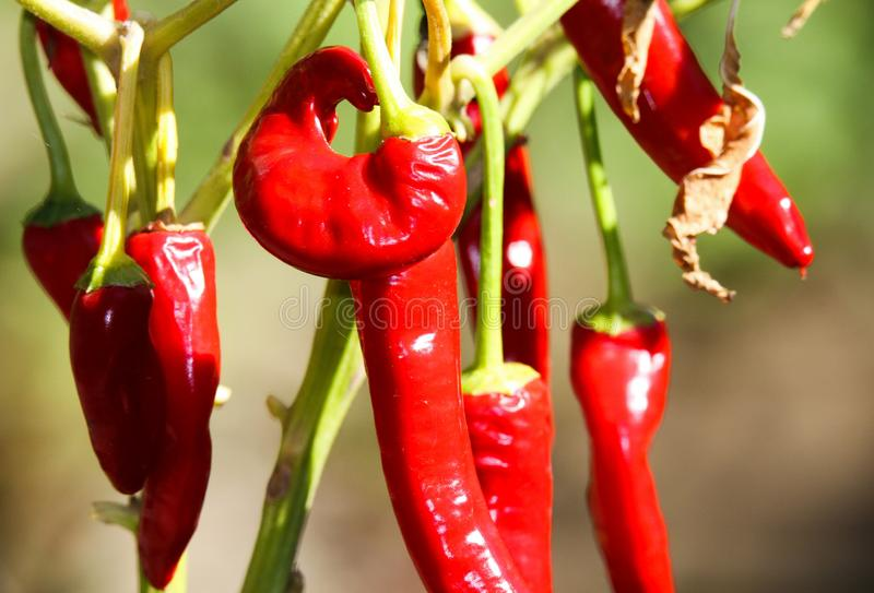 Close up of bright shining red pepper chili hanging on plant in the sun stock images