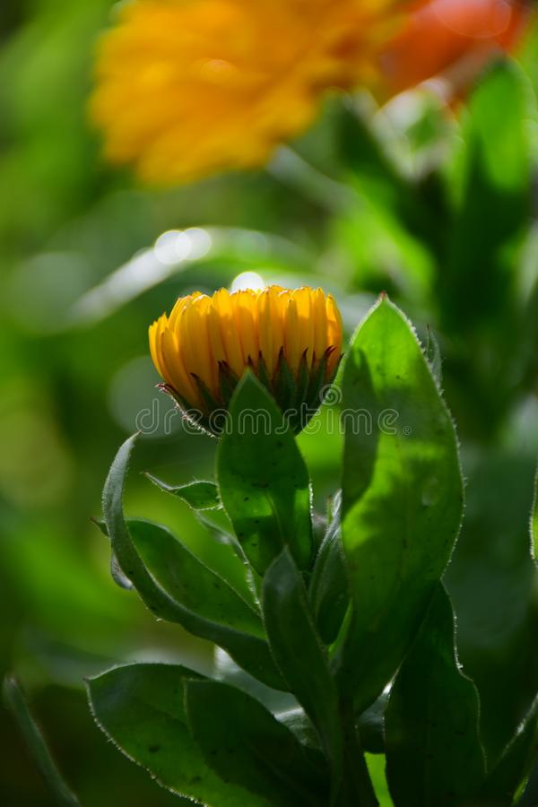 Close up of a Bright Yellow Calendula Officinalis or Marigold Flower by Maria Rutkovska. Close up of a Bright Yellow Pot Marigold Flower Calendula Officinalis royalty free stock photo