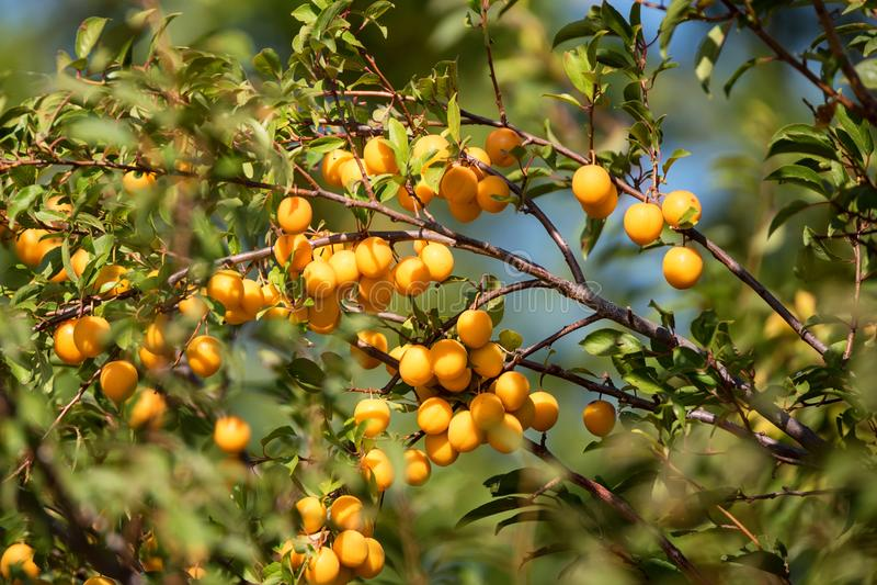Cherry plum or Prunus cerasifera fruit on tree royalty free stock images