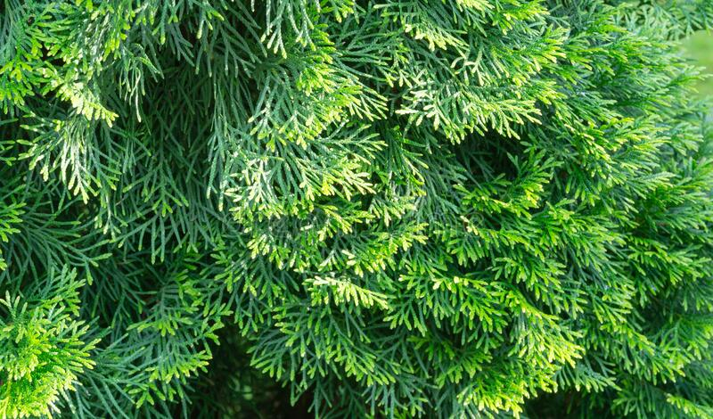 Close-up of bright yellow-green texture of natural greenery leaves of Thuja occidentalis Smaragd. Northern or eastern white cedar. Selective focus. Interesting royalty free stock photos