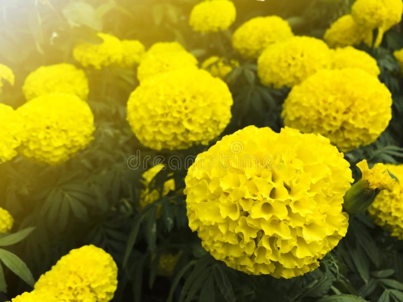 Close up bright yellow marigolds are grown in the garden.  royalty free stock photography