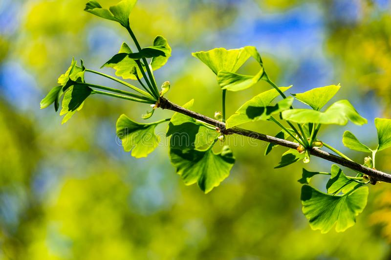 Close-up brightly green leaves of Ginkgo tree Ginkgo biloba, known as ginkgo or gingko in soft focus against background. Of blurry foliage. The natural light of stock photography