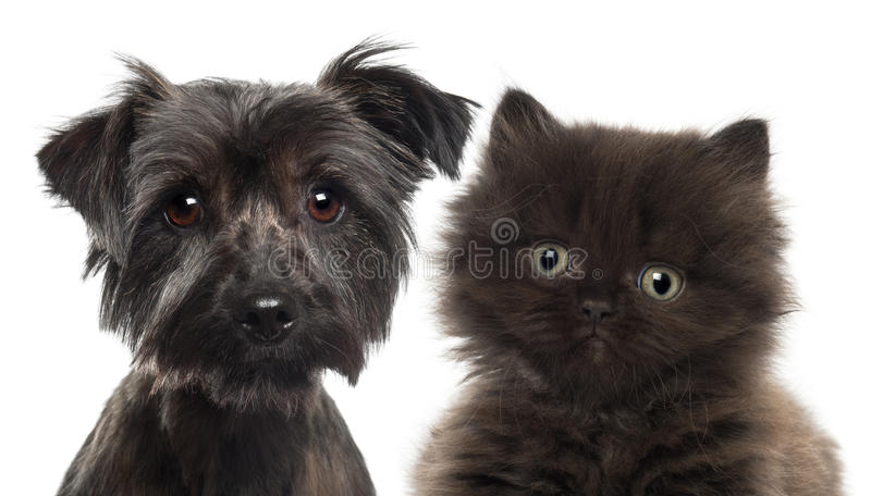 Download Close-up Of British Longhair Kitten Stock Photo - Image: 27816226