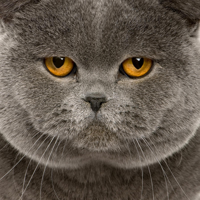 Close up of a british shorthair (2 years old) royalty free stock photo