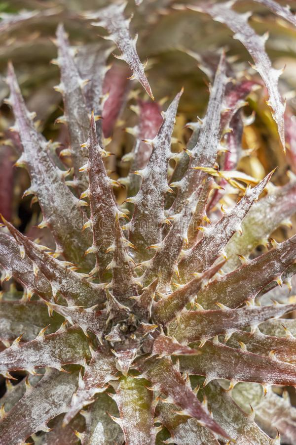 Close-up of Bromeliaceae Dyckia fosteriana. Texture background stock image