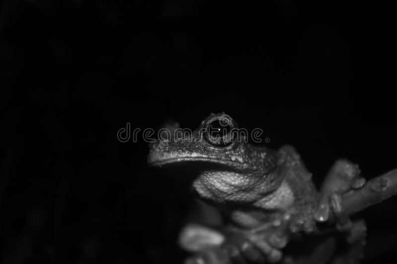 A close up of an brown and black large eye, green tree frog, Osteocephalus, in black and white royalty free stock photography