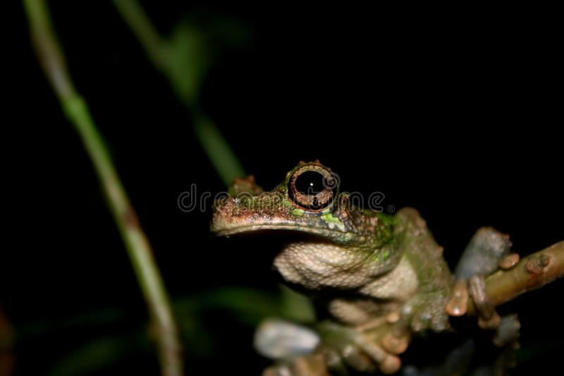 A close up of an brown and black large eye and mouth of a brown and green tree frog, Osteocephalus royalty free stock image