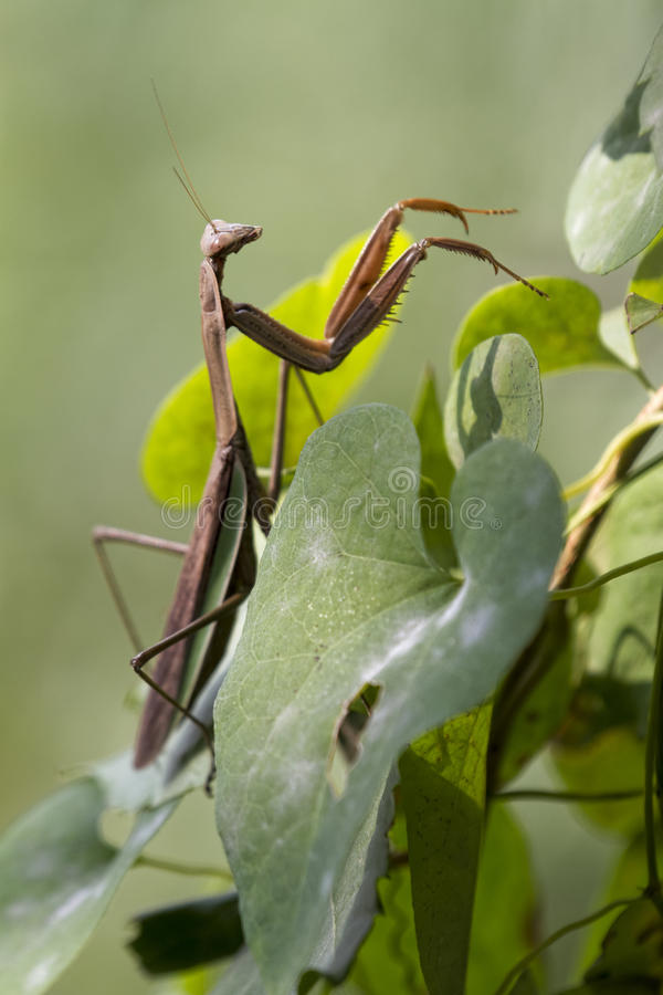 Close Up of a Brown Chinese Preying Mantis Walking Up Vine Leave. A Brown Chinese Preying Mantis climbing up vine leaves looking for food stock photography