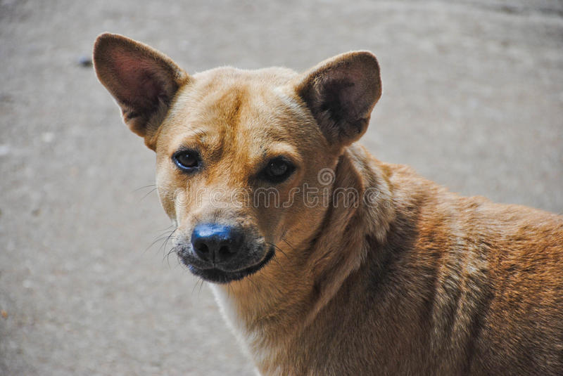 Close-up of brown dog looking at camera.  stock images