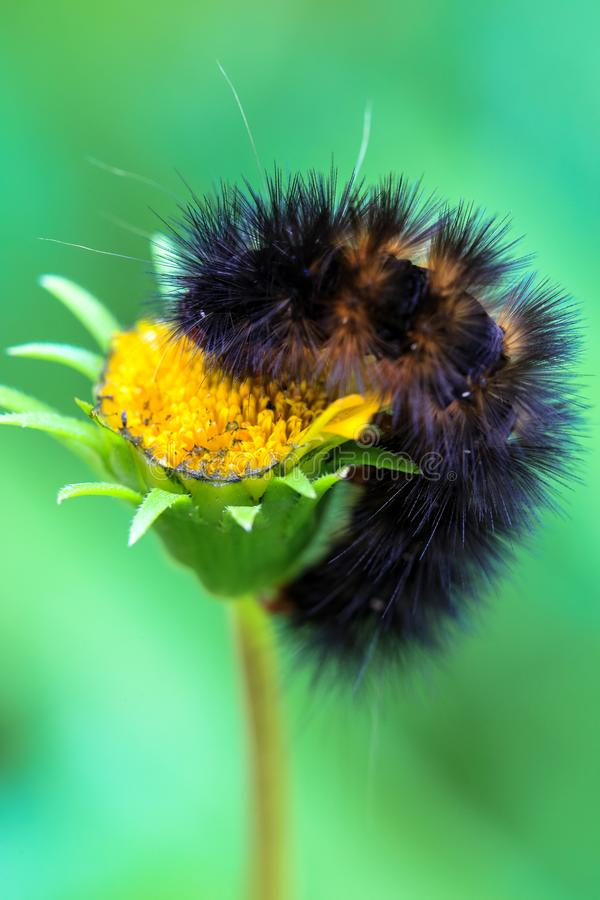 Close up of brown hairy caterpillar feasting on a daisy flower against bokeh background.  royalty free stock photos