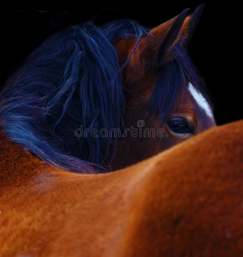 Close Up of a brown horse eye. On black background.  royalty free stock photos