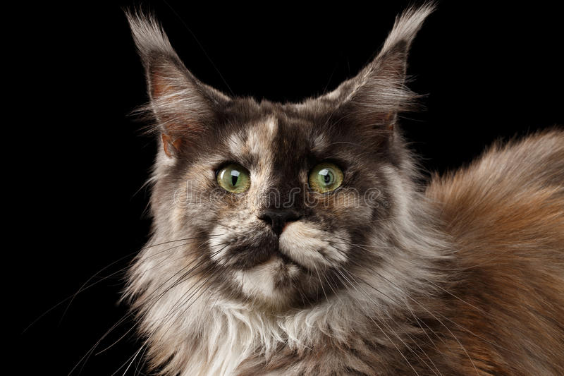 Close-up Brown Maine Coon Cat Looks Surprised isolada no preto fotos de stock royalty free