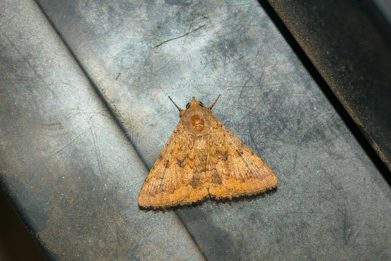 Close up of a brown moth on a grey textured background stock images