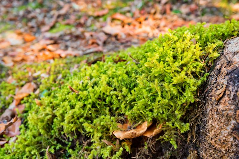 Mushroom in bright green moss on stone stock images